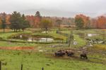 Buffalo and Farmlands on Foggy Morning in Fall, Adirondack Park, North Hudson, NY