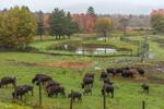 Buffalo and Farmlands on Foggy Fall Morning in Fall, Adirondack Park, North Hudson, NY