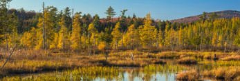 Tamarack (Larch) Trees and Wetlands in Fall, Central Adirondack Trail Scenic Byway, Adirondack Park, Inlet, NY