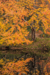 Colorful Foliage of Maple Trees Reflecting in Millers River in Fall, Royalston, MA