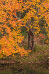 Colorful Foliage of Maple Trees along Millers River in Fall, Royalston, MA