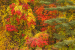 Woodlands with Colorful Fall Foliage, Townsend, MA