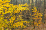 Colorful Woodland Foliage in Fall, Upper Delaware National Scenic and Recreational River, Upper Delaware Scenic Byway, Deerpark, NY