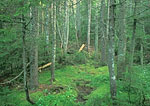 Spruce/Fir Forest, Sphagnum Moss Wetlands, Pemigawasset Wilderness