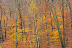 Colorful Fall Foliage in Inner Forest, Adirondack Park, Lake George Region, Hague, NY