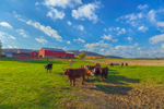 Morning Light Shines on Cows in Pasture on Brookside Farm, Lycoming County, Moreland, PA
