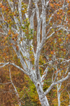 Close Up of Sycamore Tree in Fall along Upper Delaware Scenic Byway, Upper Delaware National Scenic and Recreational River, Hamlet of Basket, Fremont, NY