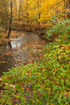 Winterberry Bushes along Tom's Creek in Fall, Delaware Water Gap National Recreation Area, near Bushkill, PA
