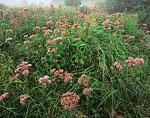 Wet Meadow of Joe-pye Weed