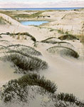 False Heather and Sand Dunes, Crane Beach