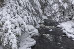 Snow-covered Eastern Hemlock Trees along Priest Brook after Fresh Snowfall, Royalston, MA