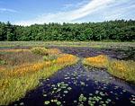 Floating Bog with Horned Bladderwort in Bloom, Harvard Pond