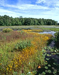 Horned Bladderwort in Bloom on Floating Bog, Harvard Pond