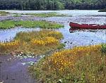 Horned Bladderwort in Bloom on Floating Bog, Harvard Pond