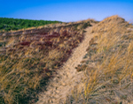 Path through Beach Grasses and Bearberry on Dunes at Newcomb Hollow Beach, Cape Cod National Seashore, Cape Cod, Wellfleet, MA
