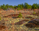 Lichens, Heather, and Pitch Pine Trees in Late Fall at the Marconi Site, Cape Cod National Seashore, Cape Cod, Wellfleet, MA