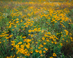 Field of Black-eyed Susans in Summer, Barnard, VT