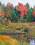 Fall Colors in Marsh, Shrub Swamp, and Woodlands at Sportsman Pond, Fitzwilliam, NH