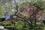 Dogwoods in Bloom in Spring, Essex, CT