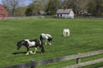 Gypsy Vanner Horses Grazing in Pasture at Gypsy Woods Farm in Early Spring, North Stonington, CT