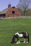 Red Barn and Gypsy Vanner Horse Grazing in Pasture at Gypsy Woods Farm in Early Spring, North Stonington, CT
