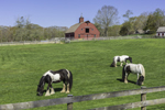 Red Barn and Gypsy Vanner Horses Grazing in Pasture at Gypsy Woods Farm in Early Spring, North Stonington, CT