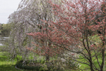 Dogwood and Weeping Cherry Trees in Bloom in Spring, Hopkinton, RI