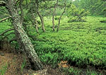 Wild Cranberry Bog and Pitch Pine