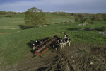 Dairy Cows at Trough in Pasture in Early Spring, Voluntown, CT