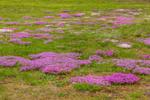 Creeping Phlox Naturalized in Field, Hubbardston, MA