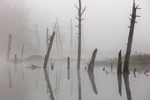 Old Snags in Fog on Tributary of Millers River, Birch Hill Recreation Area, Royalston, MA