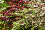 Close Up View of Flowering Dogwood and Japanese Red Maple Trees in Spring, Sunderland, MA
