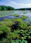 Wetlands with Floating Bog, Harvard Pond