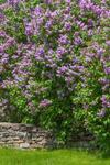 Purple Lilacs in Full Bloom along Stone Wall, Duchess County, Amenia, NY