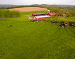 Dairy Cows and Red Barns on Farm in Hudson Valley, Columbia County, Hillsdale, NY