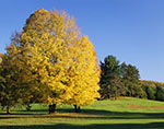 Maple in Brilliant Fall Colors on Golf Course at Tower Ridge Country Club