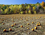 Field of Pumpkins with Fall Foliage in Background