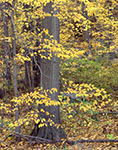 Black Gum Leaves and Red Oak Trunks in Fall