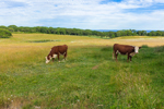 Hereford Cattle Grazing in Pasture with Oak Forest and Atlantic Ocean in Background, Beetlebung Farm, Martha's Vineyard, Chilmark, MA