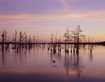 Cypress Trees and Early Morning Light on Lake Conway