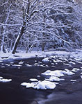 Snow-covered Yellow Birch Trees along East Branch Swift River