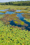 Lily Pads in Wilson Pond, Casco Bay Region, Orr's Island, Town of Harpswell, ME