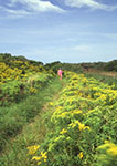 Path through Goldenrods, Clay Head area