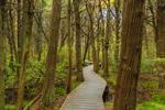 Boardwalk through Atlantic White Cedar Swamp, Cape Cod National Seashore, Cape Cod, Wellfleet, MA