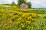 Field of Goldenrods and Old Red Barn, Wilmington, VT