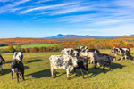 Cows in Pasture with Mount Katahdin in Background in Autumn, from Scenic Overlook at Ash Hill, Katahdin Woods and Waters Scenic Byway, Patten, ME