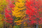 Brilliant Red Maple Trees in Fall, Guilford, ME