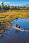 Moose in Lazy Tom Stream in Fall, Moosehead Lake Region, Piscataquis County, T1R13 WELS, ME