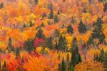 Brilliant Fall Foliage on Halfmoon Mountain, Rangeley Lakes Region, Village of Wilsons Mills, Lincoln Plantation, ME