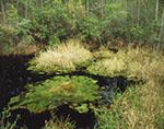 Inner Okefenokee Bay Swamp